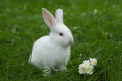 Little white bunny sitting in green grass Royalty Free Stock Image
