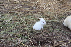 Little white bunny. A very white bunny on the ground Royalty Free Stock Image