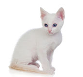 Little white cat with blue eyes Royalty Free Stock Photos
