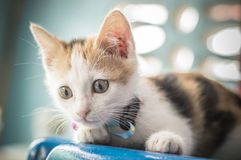 Little cat face and eyes funny and looking something backgrounds. White kitty cat tri-color puppy and child animals pets stock image