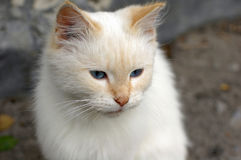 A little white cat lives in a hospital courtyard. And feeds on what visitors bring royalty free stock image