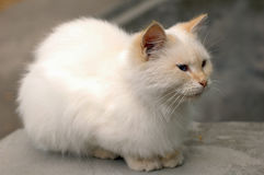 A little white cat lives in a hospital courtyard. And feeds on what visitors bring royalty free stock photography