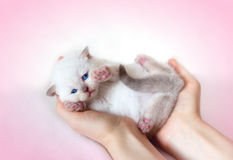 Little white cat Royalty Free Stock Image
