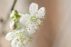 Little white cherry blossom Royalty Free Stock Image