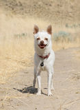 Little white chihuahua Stock Images