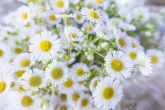 Little white cosmo flowers bouque Royalty Free Stock Photo