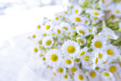 Little white cosmo flowers bouque Stock Image