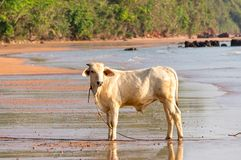 Little white cow on the beach. Looking for something Royalty Free Stock Photography