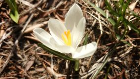 Little White Crocus Royalty Free Stock Images