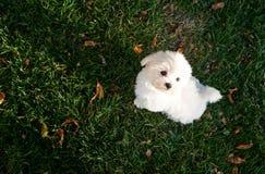Maltese puppy in the yard. Little white cute maltese puppy in the yard Stock Photography