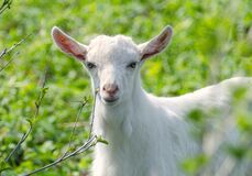 Little white dairy breed goat on green grass blurred background