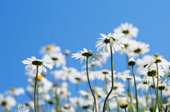 Little white daisies Stock Photos