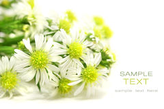Little white daisies Stock Images
