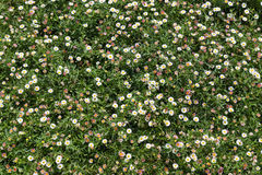 Little white daisy field Royalty Free Stock Photography