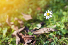 Little white daisy flower in green grass. Soft light vintage eff Royalty Free Stock Image
