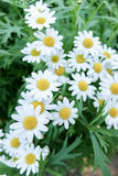 Little white daisy flower. Out of focus companion Royalty Free Stock Images