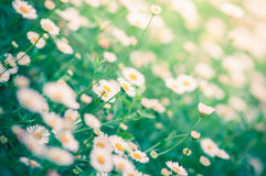 Little white Daisy. Royalty Free Stock Image