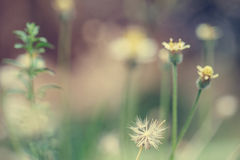 Little white Daisy. - Vintage effect style pictures Stock Photography