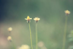 Little white Daisy. - Vintage effect style pictures Stock Photo