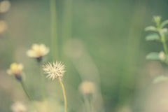 Little white Daisy. - Vintage effect style pictures Royalty Free Stock Photos