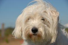 Little white dog Stock Photography