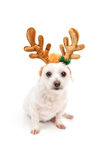 Little white dog with antler ears Stock Image