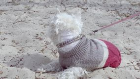 Little white dog at beatch. Little white dog wait at Dnipro river beatch, Kyiv, Ukraine stock video