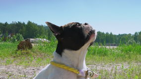 Little white dog with black spots on it fur sitting outdoors stock video