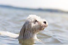 Little white dog Dog swimming Royalty Free Stock Photo