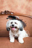 Little white dog with hat Royalty Free Stock Photos