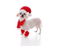 Little white dog looking for santa. Little white festive dog looking in anticpation for santa or at your message.  White background Royalty Free Stock Photography