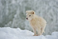 Little white dog outdoor in winter Stock Photography