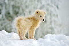 Little white dog outdoor in winter Royalty Free Stock Images