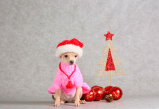 Little white dog in a red and white hat (New Year holiday) Stock Images