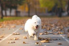 Little white dog in run. Autumn background stock photography