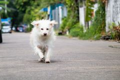 The Little white dog running on the streeet royalty free stock image