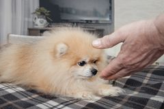 Little white dog sniffing a hand looking brown eyes on the person who tries to pet him. A horizontal frame Royalty Free Stock Images