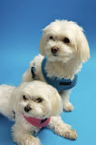 Little White Dogs. Little white maltese pets on a blue background royalty free stock photography