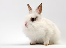 Little White Domestic Rabbit Royalty Free Stock Photos
