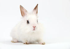 Little White Domestic Rabbit on White Background Royalty Free Stock Photos