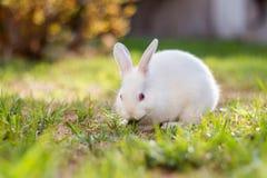 Little white dwarf rabbit. Sitting outside eating grass royalty free stock photos