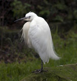Little White Egret Royalty Free Stock Photography
