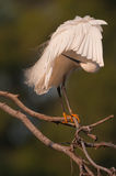 Little white egret Royalty Free Stock Images