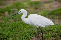 Little white Egret, Egreta garzetta Stock Photos
