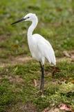 Little white Egret, Egreta garzetta Stock Photography