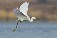 Little white egret in flight. Royalty Free Stock Images