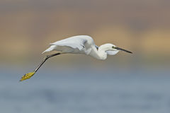Little white egret in flight Stock Image