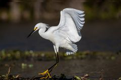 Little Egret Fly Walking on Lily pads royalty free stock photo