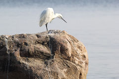 Little white Egret on a stone Stock Images