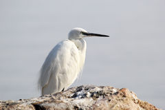 Little white Egret on a stone Royalty Free Stock Photos